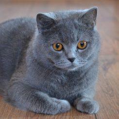 blue-british-shorthair-for-sale-1